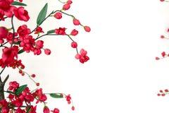 Röd japansk blomningkörsbär Royaltyfri Foto