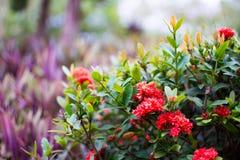 Röd jasmin för västra indier eller Ixora, liten röd blomma med gröna sidor fotografering för bildbyråer