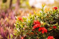 Röd jasmin för västra indier eller Ixora, liten röd blomma med gröna sidor Den härliga naturen i suddig bakgrund med varm signal arkivfoto