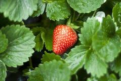 röd jordgubbe Fotografering för Bildbyråer