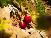 Röd jordgubbe Royaltyfri Fotografi