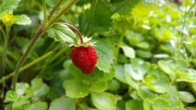 Röd jordgubbe Arkivfoto