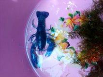 Röd jordluckrarekrävafisk arkivfoton
