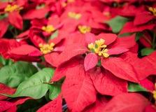 Röd jul blommar julstjärnan som hänger på marknad i Thailand Arkivbilder