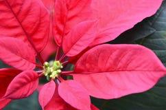 Röd julstjärnaEuphorbia Pulcherrima blommar tätt upp Arkivbild