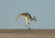 Röd känguru Arkivfoto