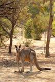 Röd känguru Fotografering för Bildbyråer