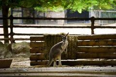Röd känguru i Chiangmai nattsafari arkivfoton
