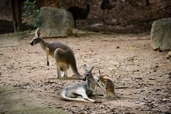 Röd känguru i Chiangmai nattsafari royaltyfri bild