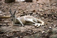 Röd känguru i Chiangmai nattsafari arkivbild