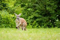 Röd känguru i fält Arkivfoton