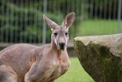 Röd känguru - Macropusrufus Arkivfoto