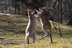 Röd känguru, Macropusrufus i en tysk zoo arkivbilder