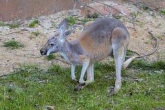 Röd känguru, Megaleia rufa Arkivfoto