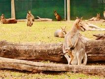 Röd känguru och känguruunge barn Royaltyfri Bild