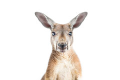 Röd känguru på vit Arkivbilder