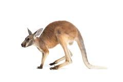 Röd känguru på vit Royaltyfria Bilder