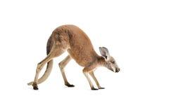 Röd känguru på vit Royaltyfri Bild