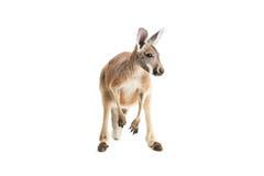 Röd känguru på vit Fotografering för Bildbyråer