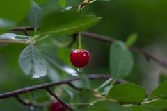 Röd körsbär efter regn på en filial på en grön bakgrund royaltyfri fotografi