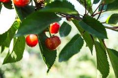 Röd körsbär på en filial i trädgården Arkivfoton