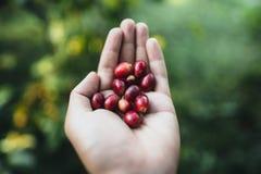 Röd körsbärsröd Arabica för kaffebönor i natur royaltyfri fotografi