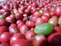 Röd kaffeuttorkning i solljuset Arkivfoto