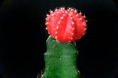 Röd kaktus i kruka Royaltyfri Fotografi