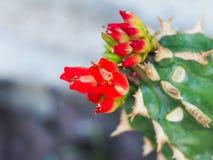 Röd kaktusblomma Royaltyfri Foto