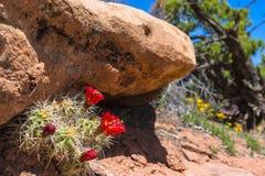 Röd kaktusblomning Canyonlands Utah Arkivbild