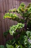 Röd Kale Royaltyfria Foton