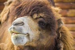 Röd kamel med tungan Arkivfoto