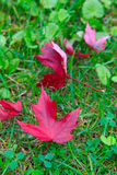 Röd kanadensisk lönnlöv på gräs Arkivfoton