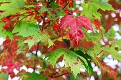 Röd kanadensisk lönnlöv på träd Arkivfoton