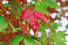 Röd kanadensisk lönnlöv på träd Arkivbilder