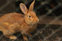 Röd kanin i fångenskap royaltyfria bilder