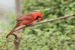 Röd kardinal Royaltyfri Fotografi
