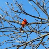 Röd kardinal Fotografering för Bildbyråer