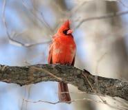 Röd kardinal på ett träd Royaltyfria Foton