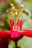 Röd karmosinröd passionsblommabalans Arkivfoton