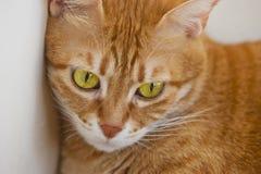 Röd katt Arkivfoto