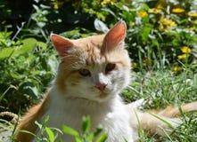 Röd katt Royaltyfri Fotografi