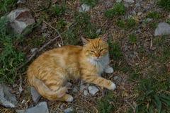 Röd katt arkivfoton