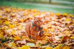 Röd katt för brittisk shorthair i höst Royaltyfria Bilder