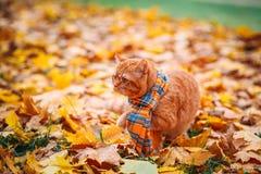 Röd katt för brittisk shorthair i höst Arkivbilder
