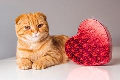 Röd katt för skotskt veck med den röda hjärtaasken royaltyfri fotografi
