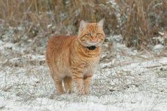 Röd katt i skogen Royaltyfria Foton