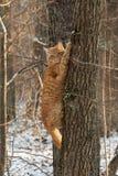 Röd katt i skogen på trädet Fotografering för Bildbyråer
