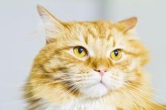 Röd katt, lång haired siberian avel Arkivfoto