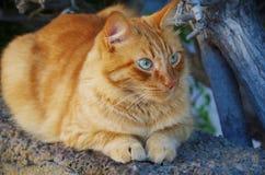 Röd katt med blåa ögon Arkivfoto